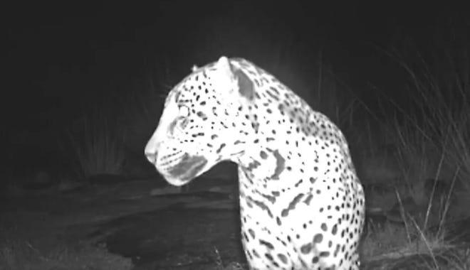A male jaguar named Sombra wanders Arizona's Chiricahua Mountains in 2017.