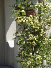 The yellow-flowered Lady Banks Rose is not fragrant nor as cold hardy as the white form and may be damaged by morning frosts.