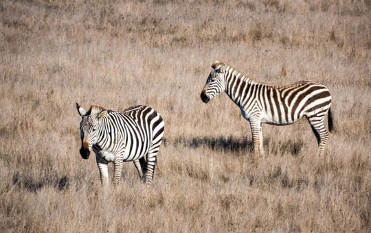 A herd of wild zebra live on the coastal range off Highway 1 near Hearst Castle in San Simeon.