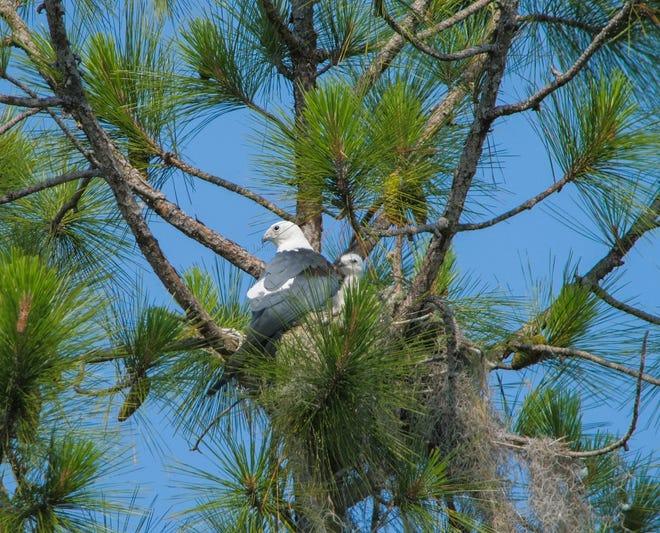 These swallowtail kites used plenty of Spanish moss in their nest. Photo by Tara Tanaka.