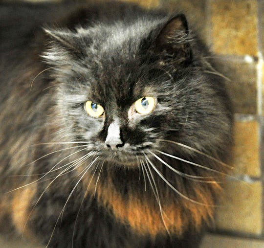 Say hello to Zach! He is a friendly, outgoing, 2-year-old domestic longhair looking for his fur-ever home. Zach and his kitty friends can be found at the Wichita Falls Animal Service Center located on Hatton Road.