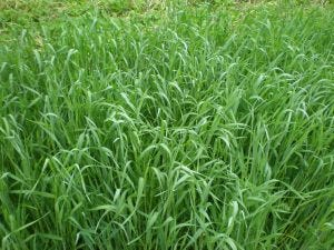 Winter rye is one plant that makes an effective winter cover crop