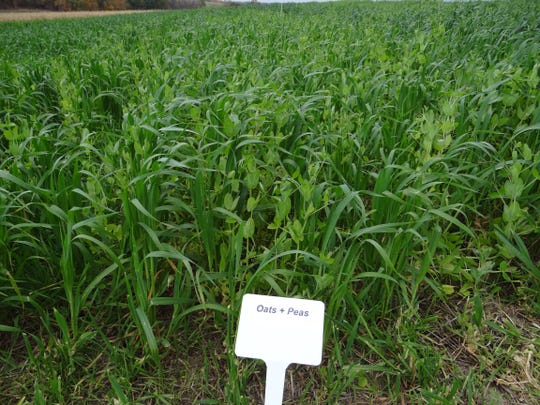 La Crosse Seed, in business since 1919 and now owned by the Danish firm DLF, carries only the seeds for cover crops, small grains, and forages like this peas and oats mixture.