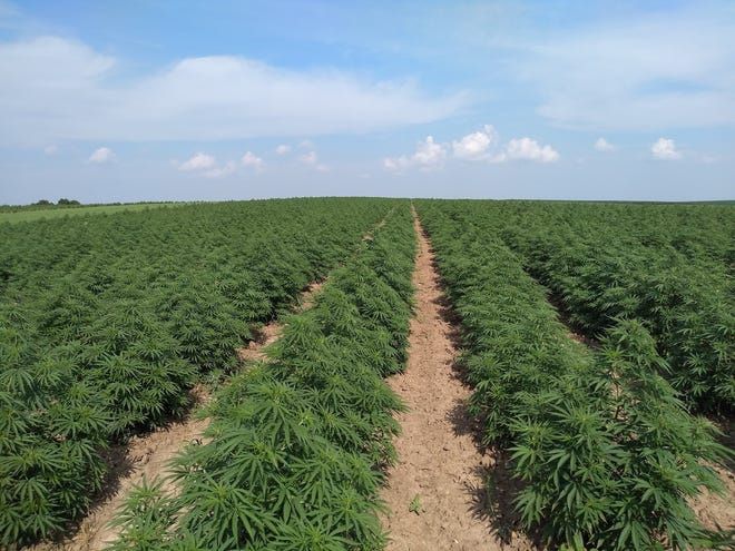 While growers have produced the industrial hemp crop, a majority of the crop remains to be marketed.