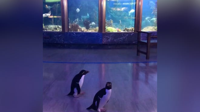 Chicago aquarium releases penguins after it closes due to coronavirus