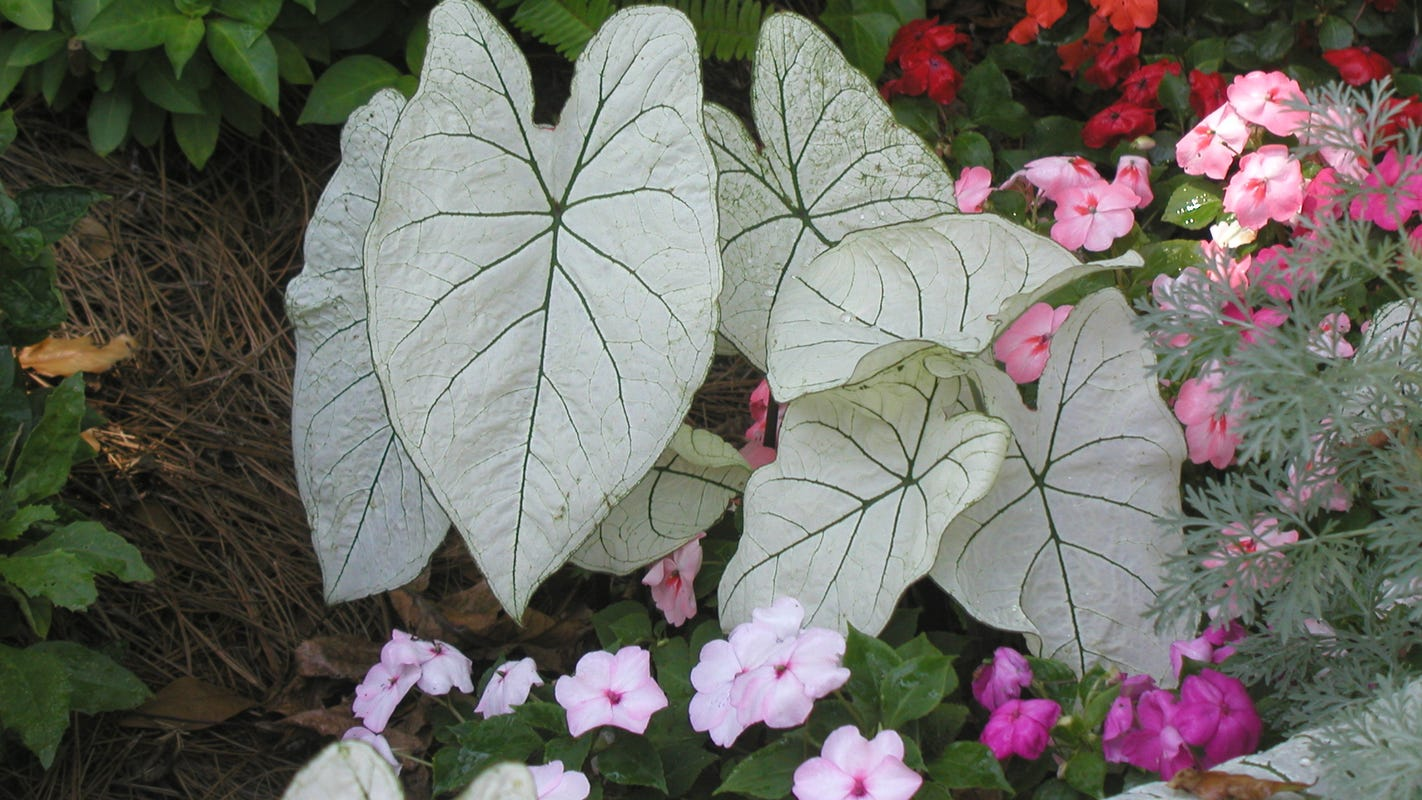 Celebrate Spring By Adding Colorful Caladiums To Your Landscape