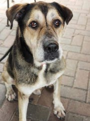 SPCA currently has dogs like this one ready for adoption.