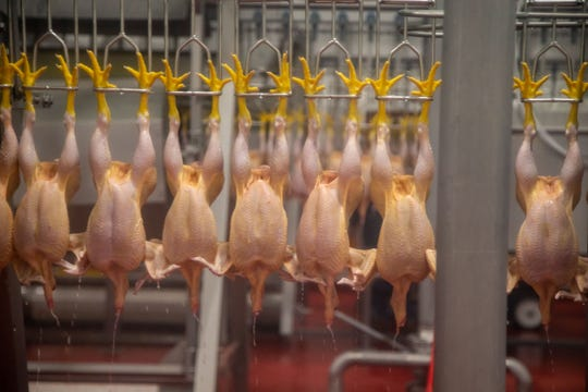 Workers soon will process about 2 millions chickens a week for Costco at the Lincoln Premium Poultry plant in Fremont Nebraska.
