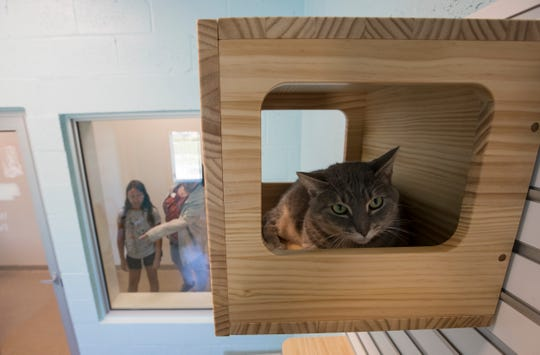 A cat available for adoption at the new Cape Coral Animal Shelter, sits inside one a shelter box in one of the cat playrooms Wednesday afternoon.