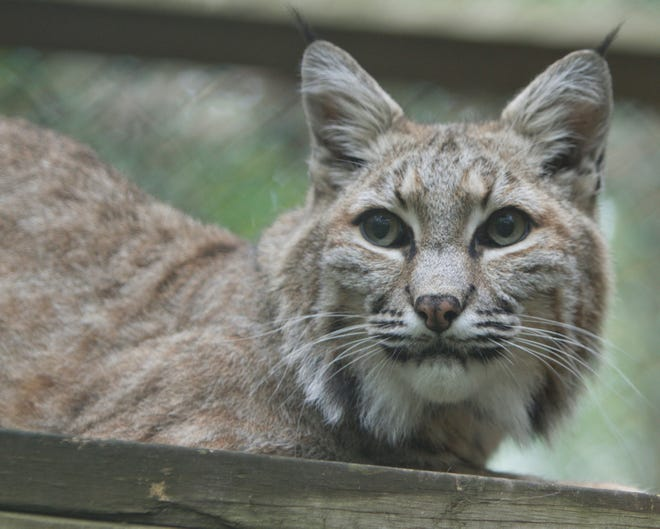A bobcat named Zeus, one of the permanent residents of the Howell Conference and Nature Center, relaxes perched on a raised platform Thursday, Sept. 7, 2017.