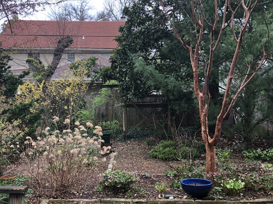'Royal Heritage Strain' hellebores (Helleborus 'Royal Heritage Strain') and Paper Bark Maple (Acer griseum) in Yew Dell Botanical Garden Executive Director Paul Cappiello's backyard.