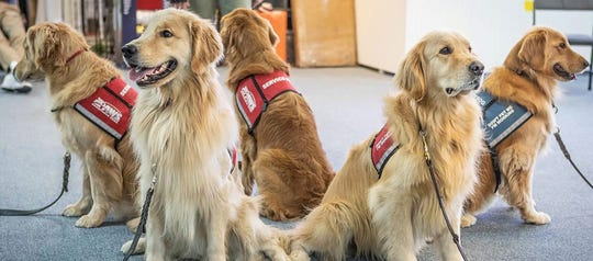 Dogs in training with the Naples based Golden Paws Assistance Dogs.