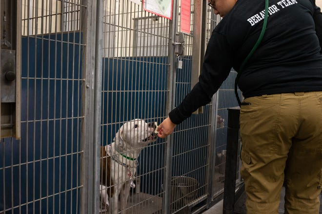 Behavior team member Sam Riojas gives out treats on March 18, 2020, at the Maricopa County Animal Care and Control shelter in Phoenix.