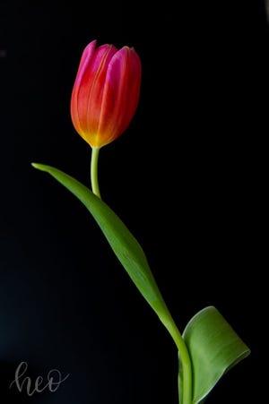  Image: Tulip    