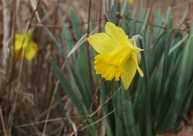 Perennial harbringers of spring, these daffodils are in bloom at the Big Run Boat ramp near Dillon State Park. Spring officially begins today.