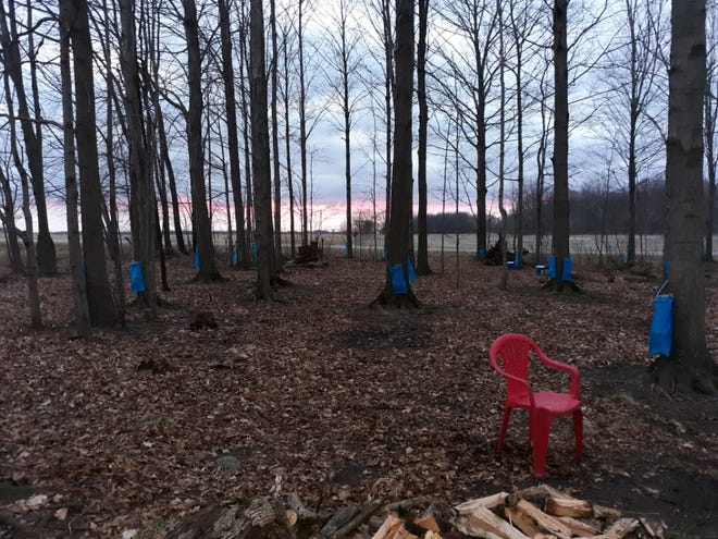 Lovina's sons-in-law Tim and Mose have been busy tapping Maple trees for syrup. They use bags now to collect the sap instead of buckets.