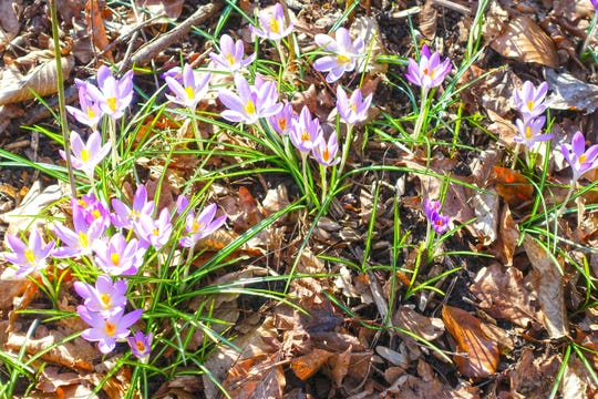 Crocuses are a pleasant reminder that spring is on the way.