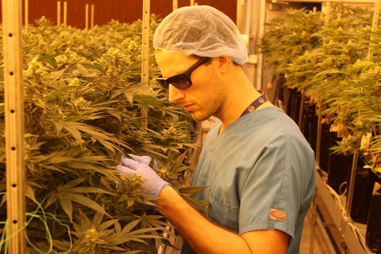 Jacob Schwab, a cultivation agent with Standard Wellness, inspects medical marijuana plants at the company's Gibsonburg cultivation facility in February 2019. The facility has implemented different precautionary measures to protect against coronavirus.
