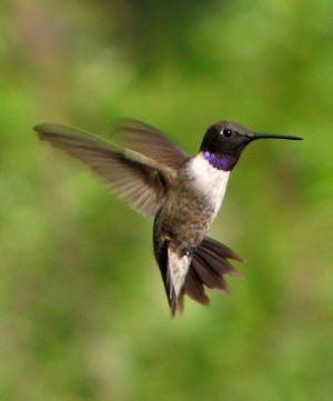 A male black-chinned hummingbird flashes his purple throat patch.
