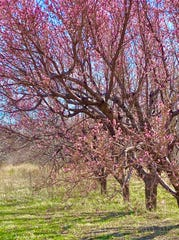 Peach trees bursting with blooms at the New Mexico State University Agricultural Science Center at Los Lunas on March 16, 2020