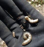Cutworms found in the very top layer of soil while weeding at the New Mexico State University Agricultural Science Center at Los Lunas.