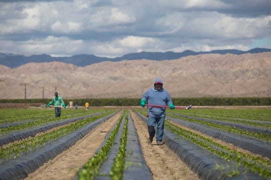 Farmworkers continue to harvest in Mecca, California as COVID-19 spreads in the state of California.