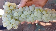 A cluster of Ugni blanc grapes from a ivineyard owned by Flying Leap in Sonoita. The leftover product of the winemaking product, normally distilled to make brandy, will be used for hand sanitizer in the wake of the COVID-19 crisis.