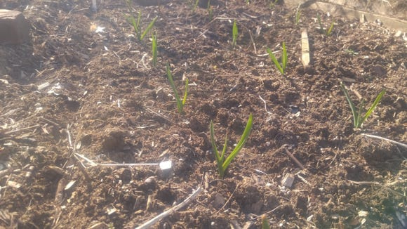 Garlic is an antiviral food. It's best planted in the fall. Ours is up and growing fine.