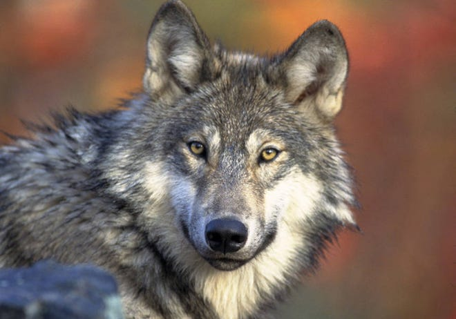 A gray wolf is shown in the file photo from the northern Rocky Mountains. A wolf pack has been confirmed in the northwest corner of Colorado.