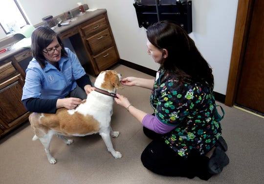 Dr. Margaret Eastman, left, gives Jack a shot with help from veterinarian assistant Michelle Maes on March 17 at Bay East Animal Hospital in Bellevue. Many local animal hospitals are adjusting their procedures during coronavirus.