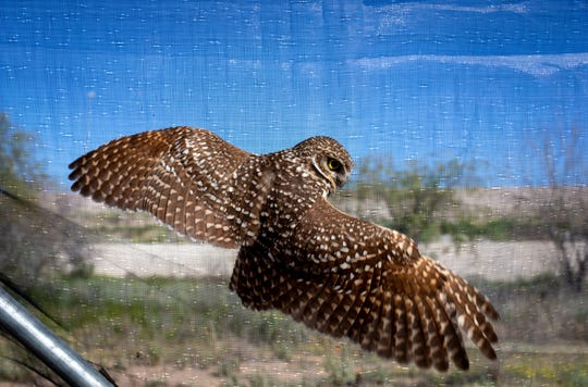 A burrowing owl flies inside a relocation tent on March 7, 2020, at Zanjero Park in Gilbert. The owls spend 30 days at their new site before being released back into the wild.