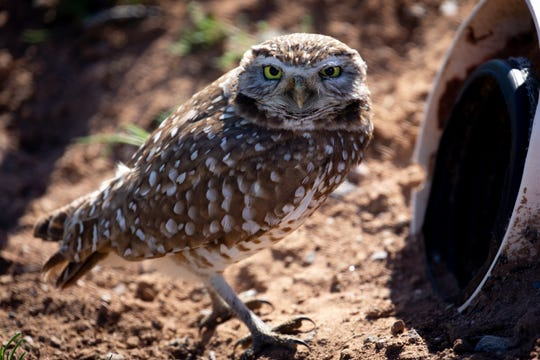 A burrowing owl stands next to its artificial burrow on March 7, 2020, at Zanjero Park in Gilbert.