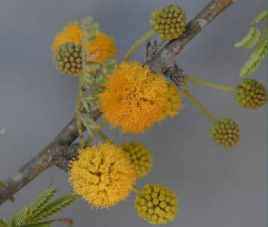 The huisache daisy gets its name from the resemblance it bears to these flowers of the Vachellia farnesiana, commonly called sweet acacia, huisache or needle bush.