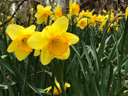 A few of the thousands of daffodils that bloomed in a field along South Main Road, Vineland