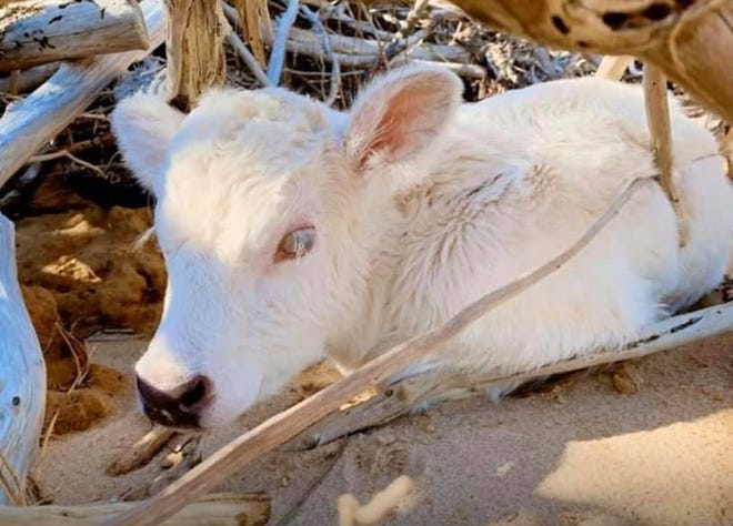 "The ""miracle"" calf has white fur and one brown eye and one blue eye — a rare phenomenon known as heterochromia iridis."