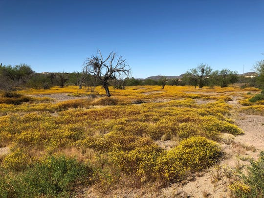 Globe chamomile has overtaken entire patches of desert in New River.  Alden Woods/The Republic Globe chamomile has overtaken entire patches of desert, like this one, in New River, Arizona.