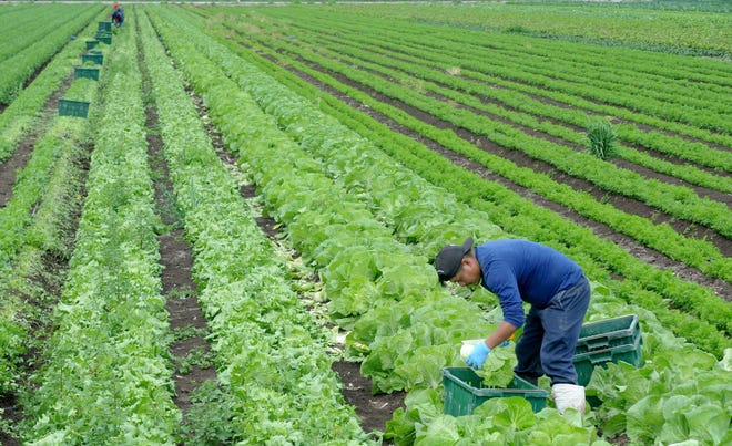Elias Santos picks Napa cabbage at Underwood Family Farms in Moorpark on Friday, March 20, 2020.