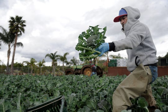 Heriberto Montes collects broccoli at Underwood Family Farms in Moorpark on Friday, March 20, 2020.