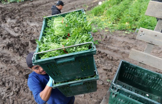Elias Santos carries boxes of harvested parsley at Underwood Family Farms in Moorpark on Friday, March 20, 2020