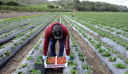 Freddy Urbano picks Monterey strawberries at Underwood Family Farms in Moorpark on Friday, March 20, 2020.