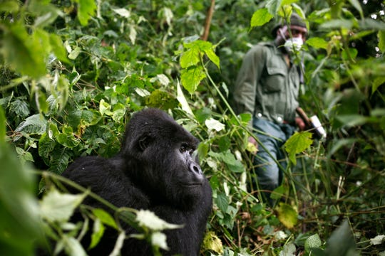 """In this photo taken Dec. 11 2012, a park ranger wearing a mask walks past a mountain gorilla in the Virunga National Park in eastern Congo.  Congo's Virunga National Park, home to about a third of the world's mountain gorillas, has barred visitors until June 1 2020, citing """"advice from scientific experts indicating that primates, including mountain gorillas, are likely susceptible to complications arising from the COVID-19 virus.""""(AP Photo/Jerome Delay)"""