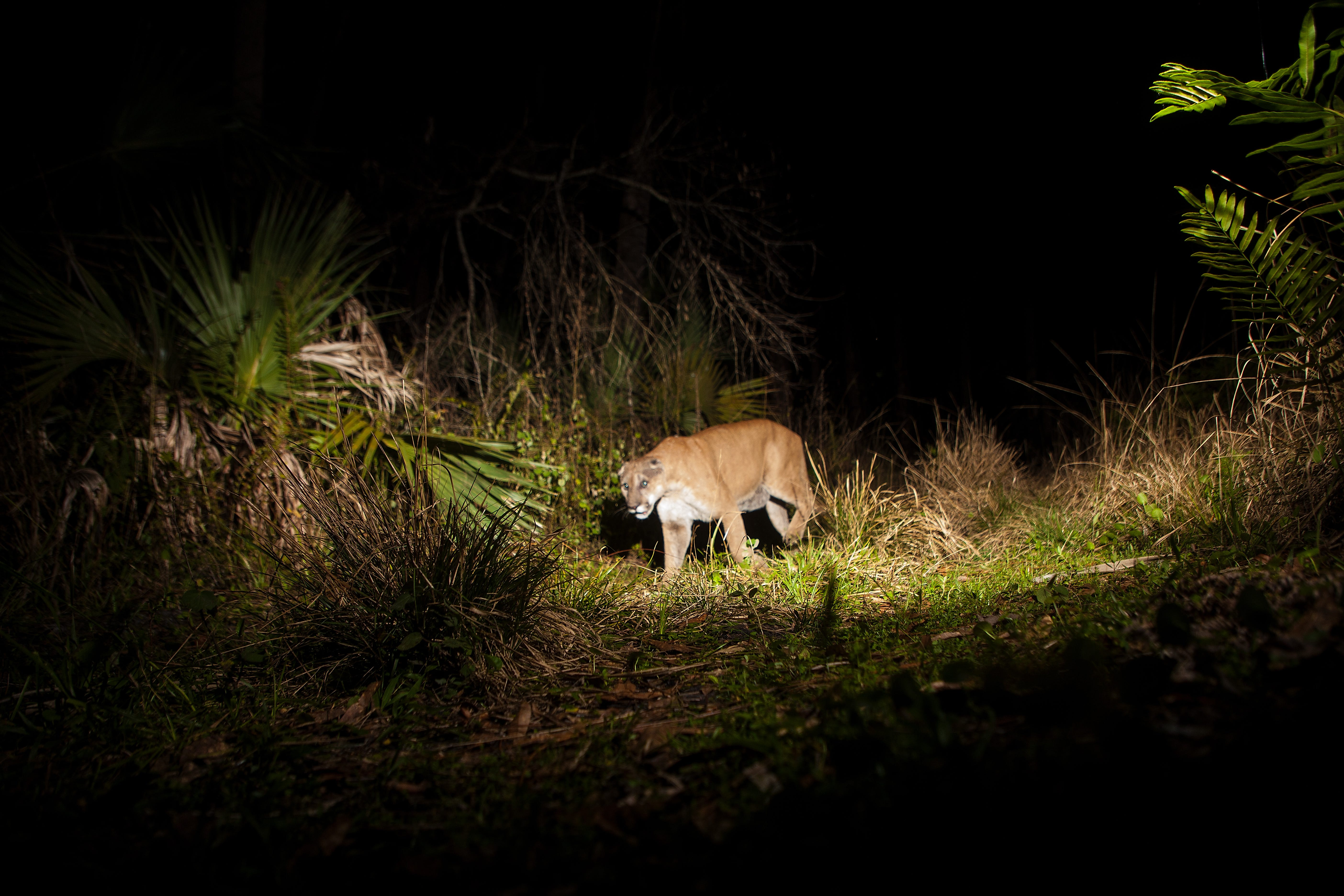 Panther deaths up for first five months of 2021, season and growth partly to blame 3