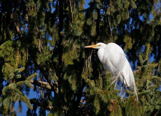 Great Egrets roost in what will soon be a rookery tree at Kiwanis Lake in York City, Sunday, March 22, 2020. The city has fenced off areas around the trees used by the egrets as well as black-crowned and yellow-crowned night herons to protect the nesting areas. John A. Pavoncello photo