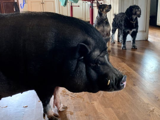 A Vietnamese pot-bellied pig named Mushu and dogs Stevie Nicks and Buckley, background, hang out at home, where owner Amanda Raymon is working during the Safer At Home Order coronavirus quarantine in Nashville.
