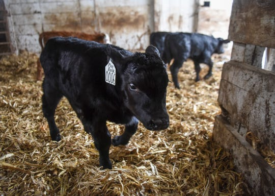 Calves are moved out of the barn and to the pasture on Saturday, March 21, 2020 at Bones Hereford Ranch in Parker S.D.
