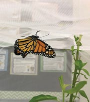 Gilchrist Elementary School students rescued caterpillars and got to witness the butterflies.