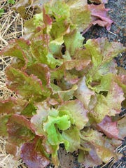 There is still time to plant lettuce in the garden. Choose leaf lettuce such as Bibb, Boston, or Red Leaf (pictured) which is heat tolerant, salad mixes and Romaine. Sow the seeds every 5 to 7 days for a continuous supply of fresh tender leaves for sandwiches and salads.