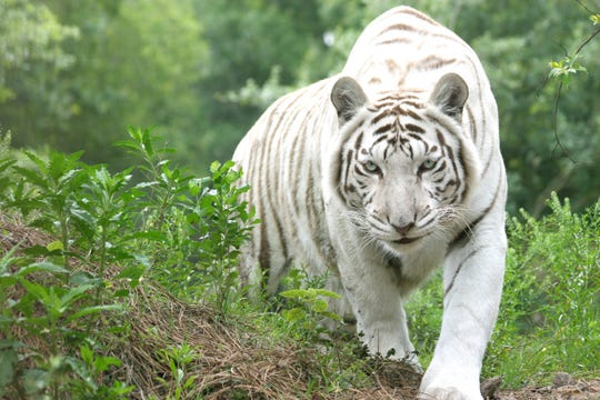 A white tiger shown at Big Cat Rescue in Tampa, Fla.