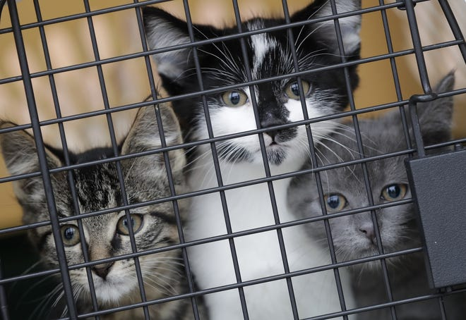 A group of foster kittens wait for their check up before being made available for adoption at the Fox Valley Humane Association on March 19, 2020 in Appleton.