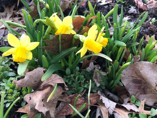 As the reins tighten on Ohioans we need to continue appreciating life's little things. These Tete-a-Tete Miniature Daffodils are opening in Mary Lee's yard. These daffodils have 2-3 flowers per stem. In French, tête-à-tête means head-to-head and is a term for a whisper.